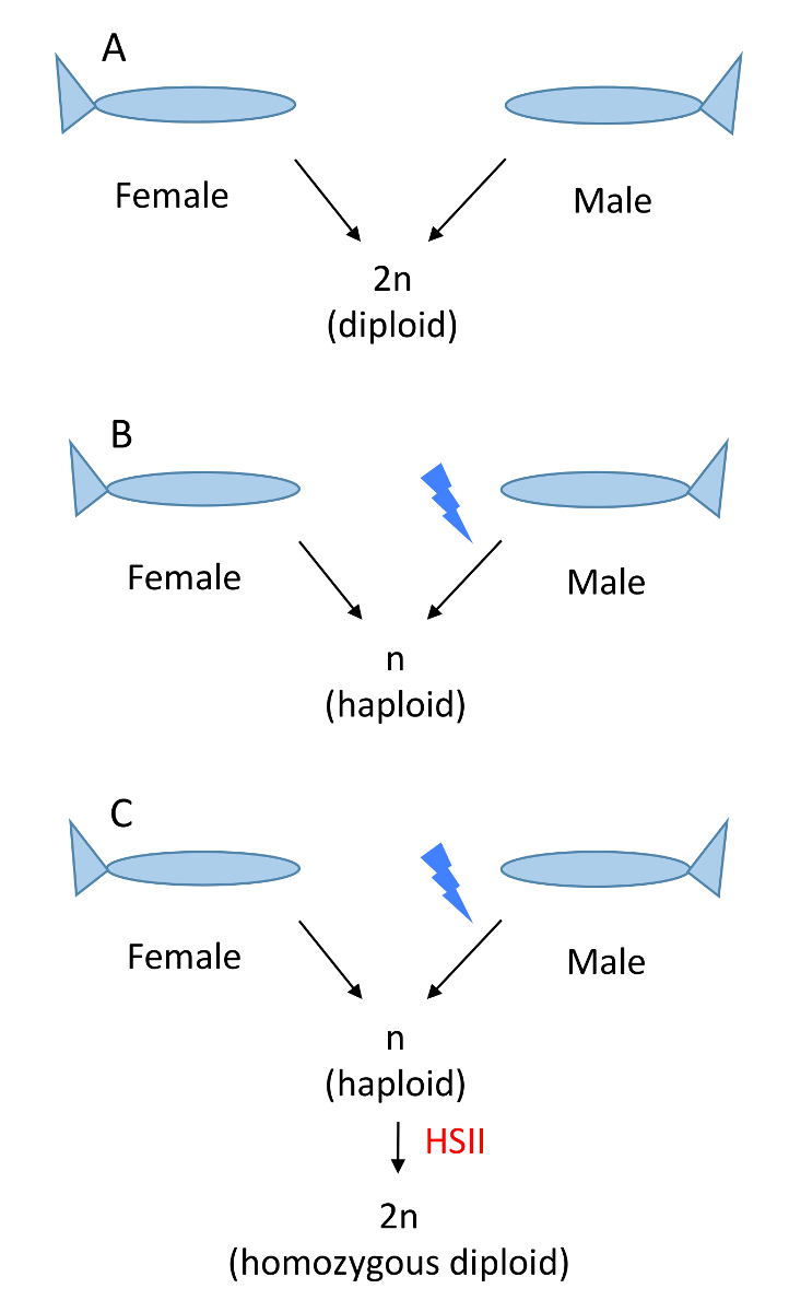 Ploidy Manipulation of Zebrafish Embryos with Heat Shock 2 Treatment