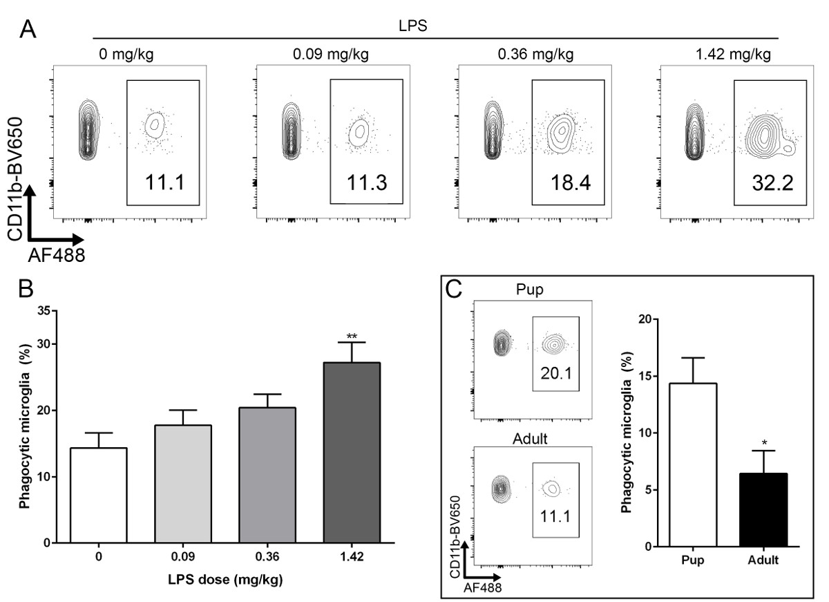 Assessing Retinal Microglial Phagocytic Function In Vivo
