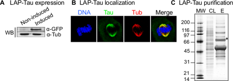 Inducible LAP-tagged Stable Cell Lines for Investigating Protein
