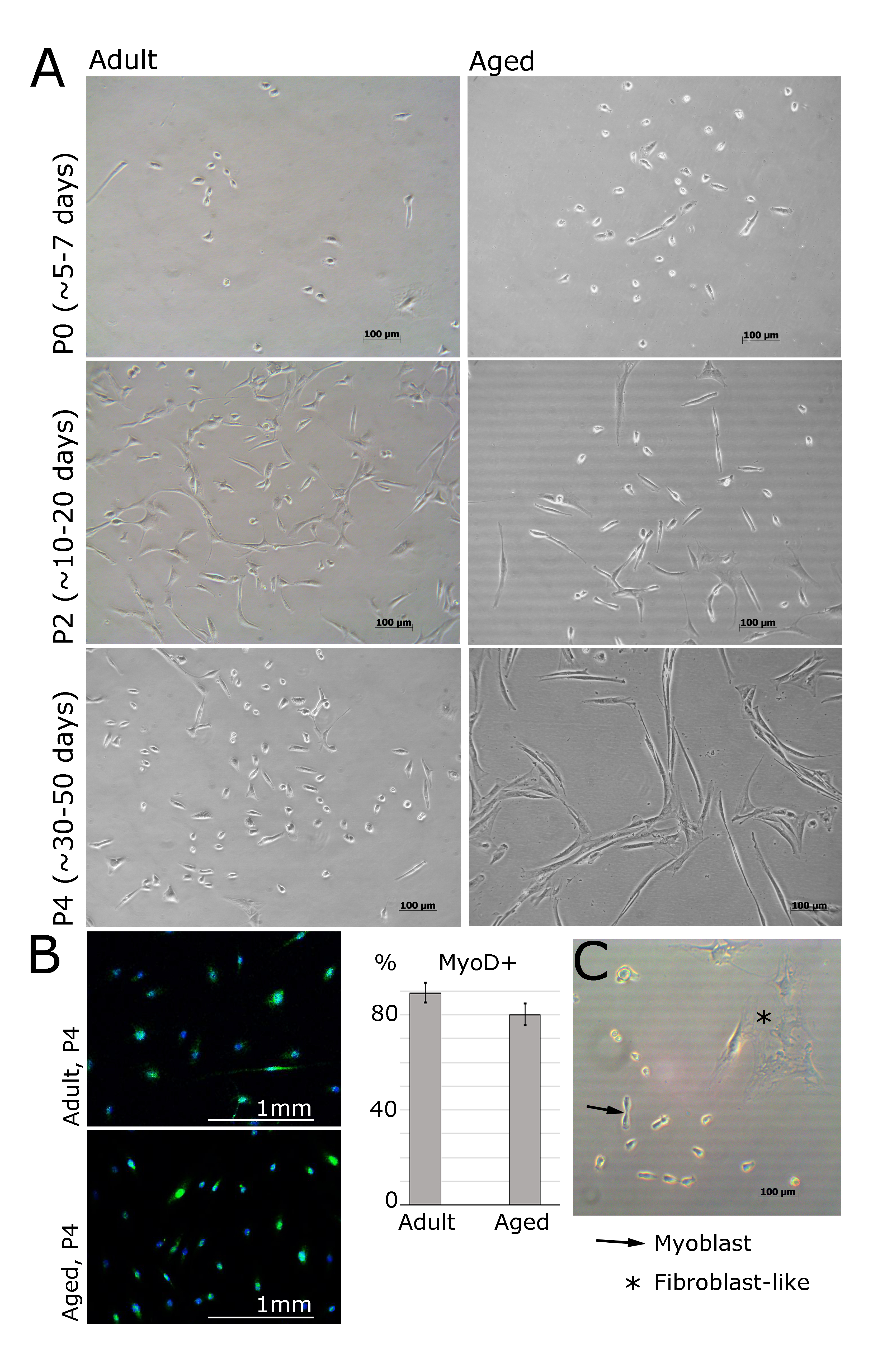 Preparation and Culture of Myogenic Precursor Cells/Primary