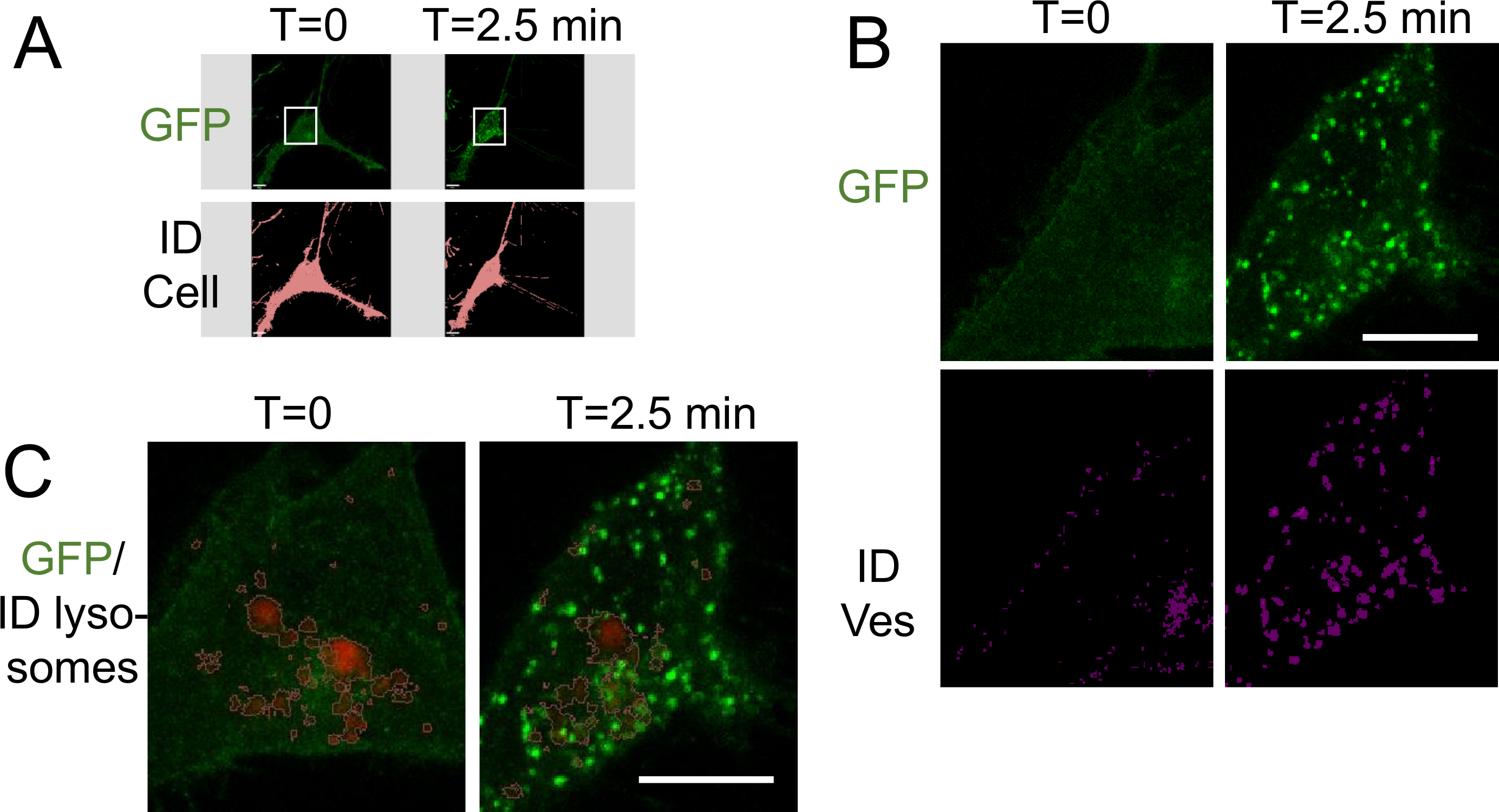 Live Cell Imaging and 3D Analysis of Angiotensin Receptor