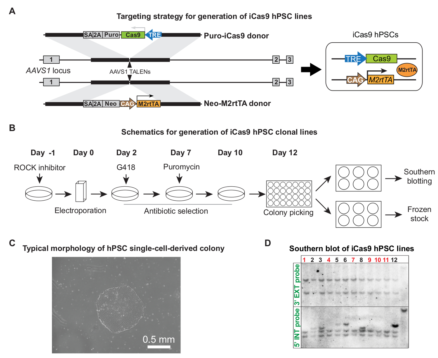 Genome Editing and Directed Differentiation of hPSCs for