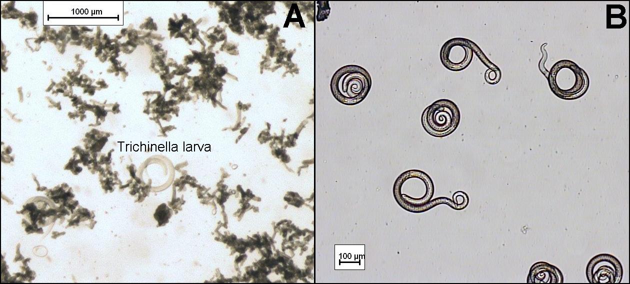 A trichinella hőmérsékleten meghal az élet formái a trichinella