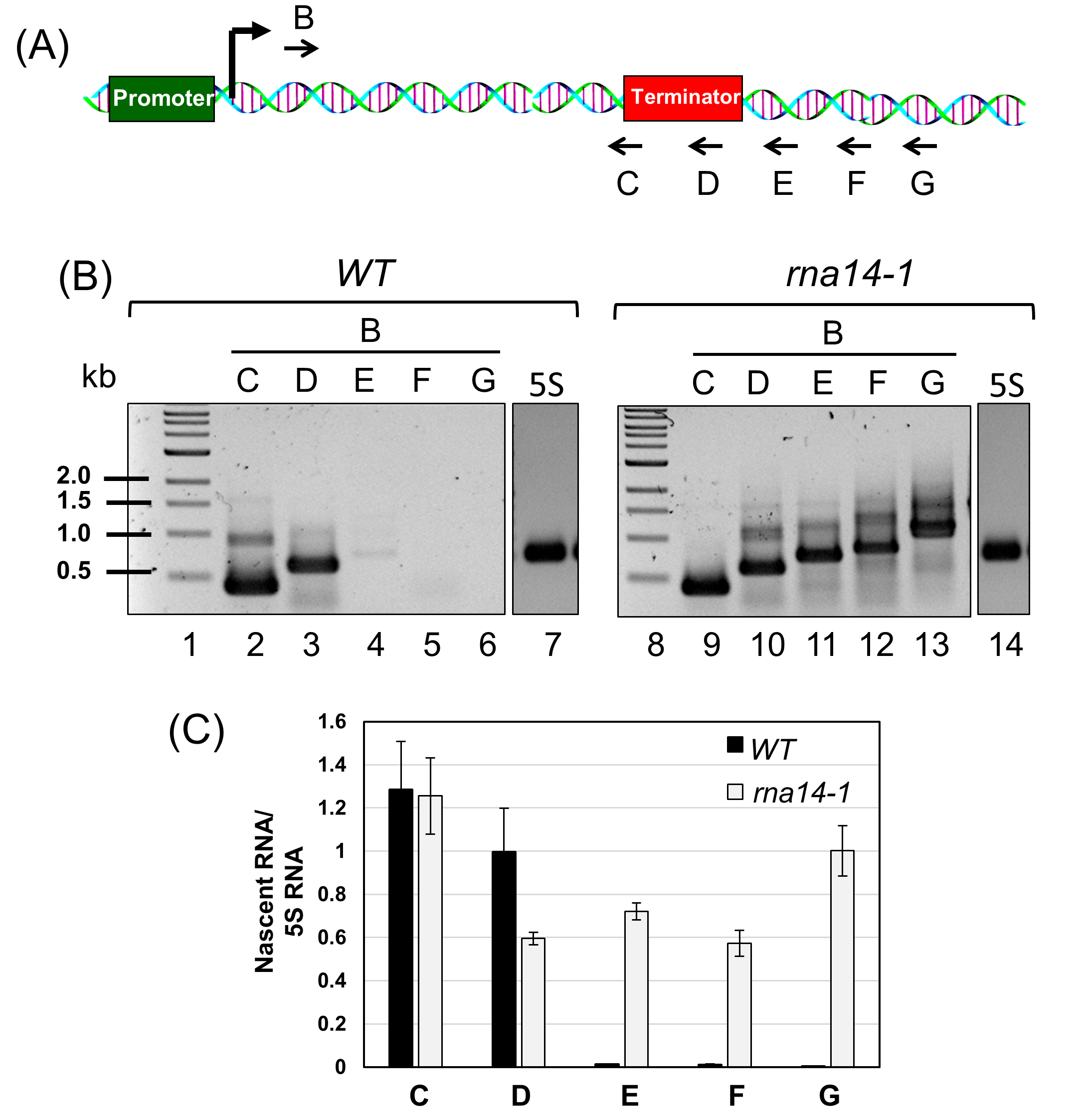 Analysis of Termination of Transcription Using BrUTP-strand