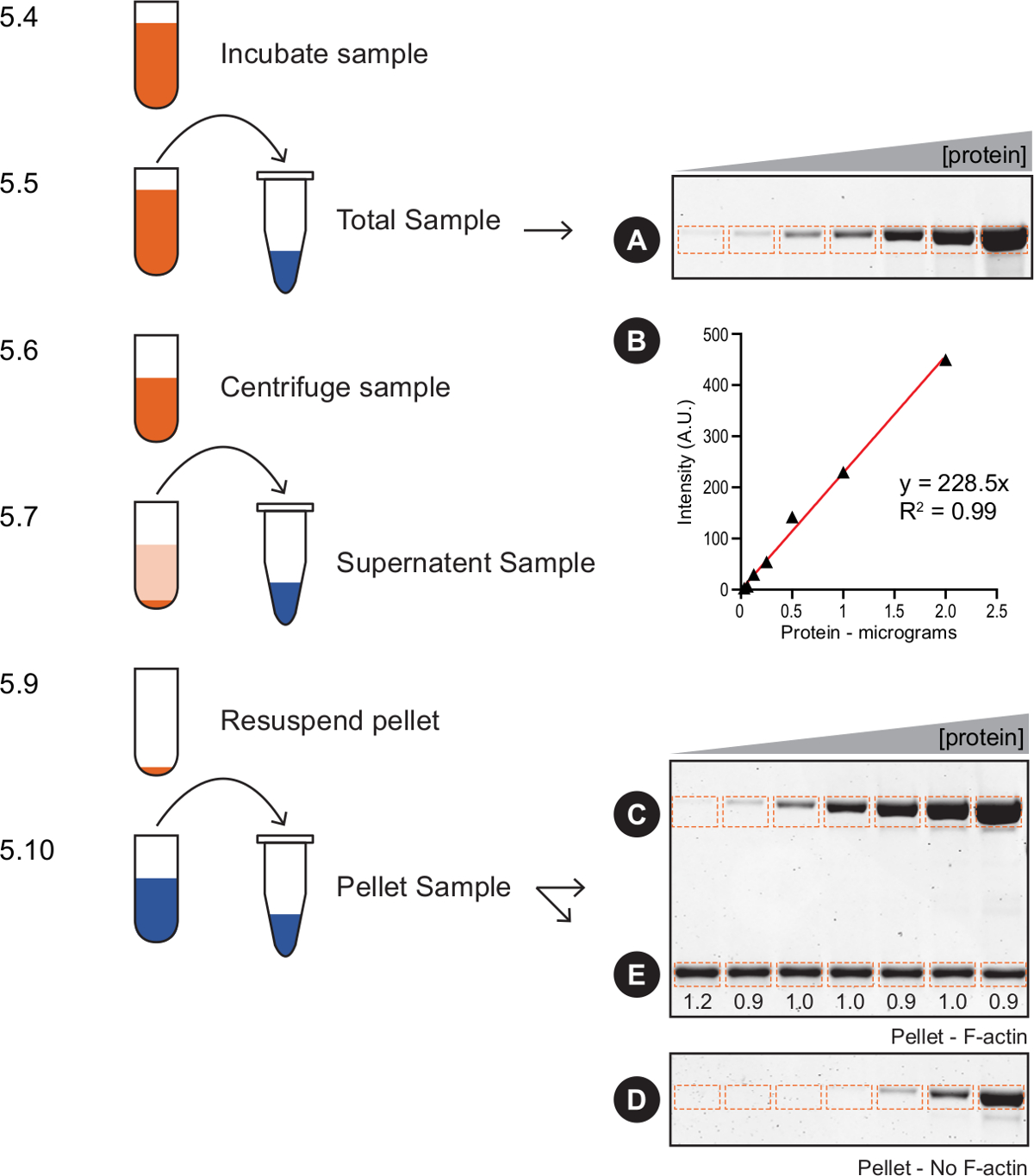 Measuring Protein Binding To F-actin By Co-sedimentation