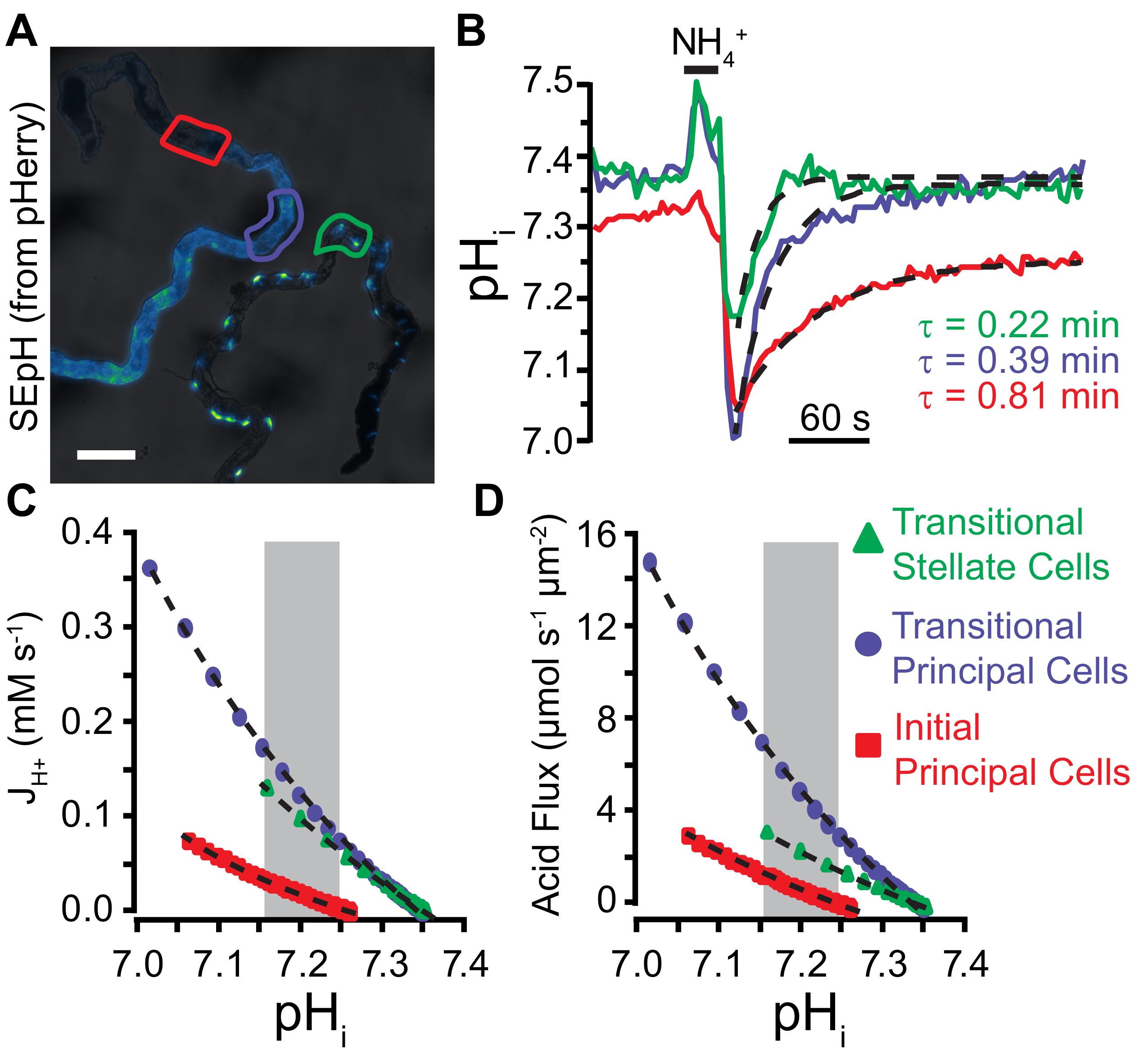 Optical Quantification Of Intracellular Ph In Drosophila
