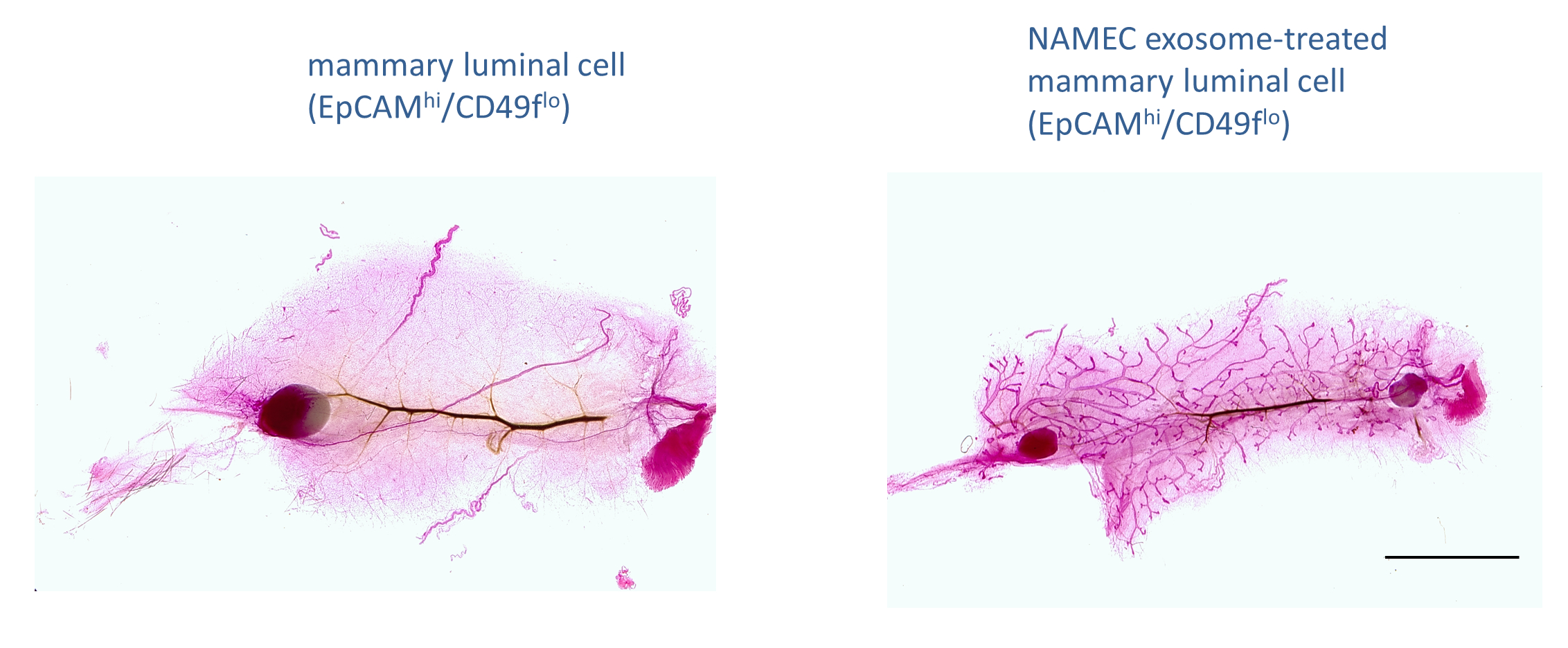 Transfer of Mammary Gland-forming Ability Between Mammary Basal ...