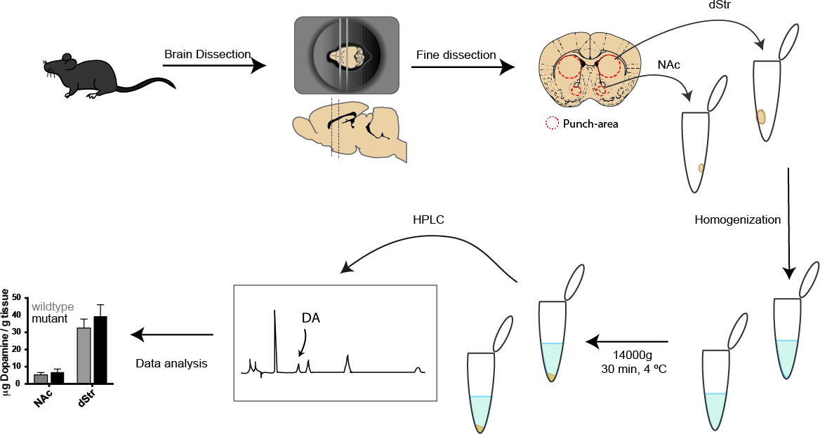 Assessment of Dopaminergic Homeostasis in Mice by Use of High