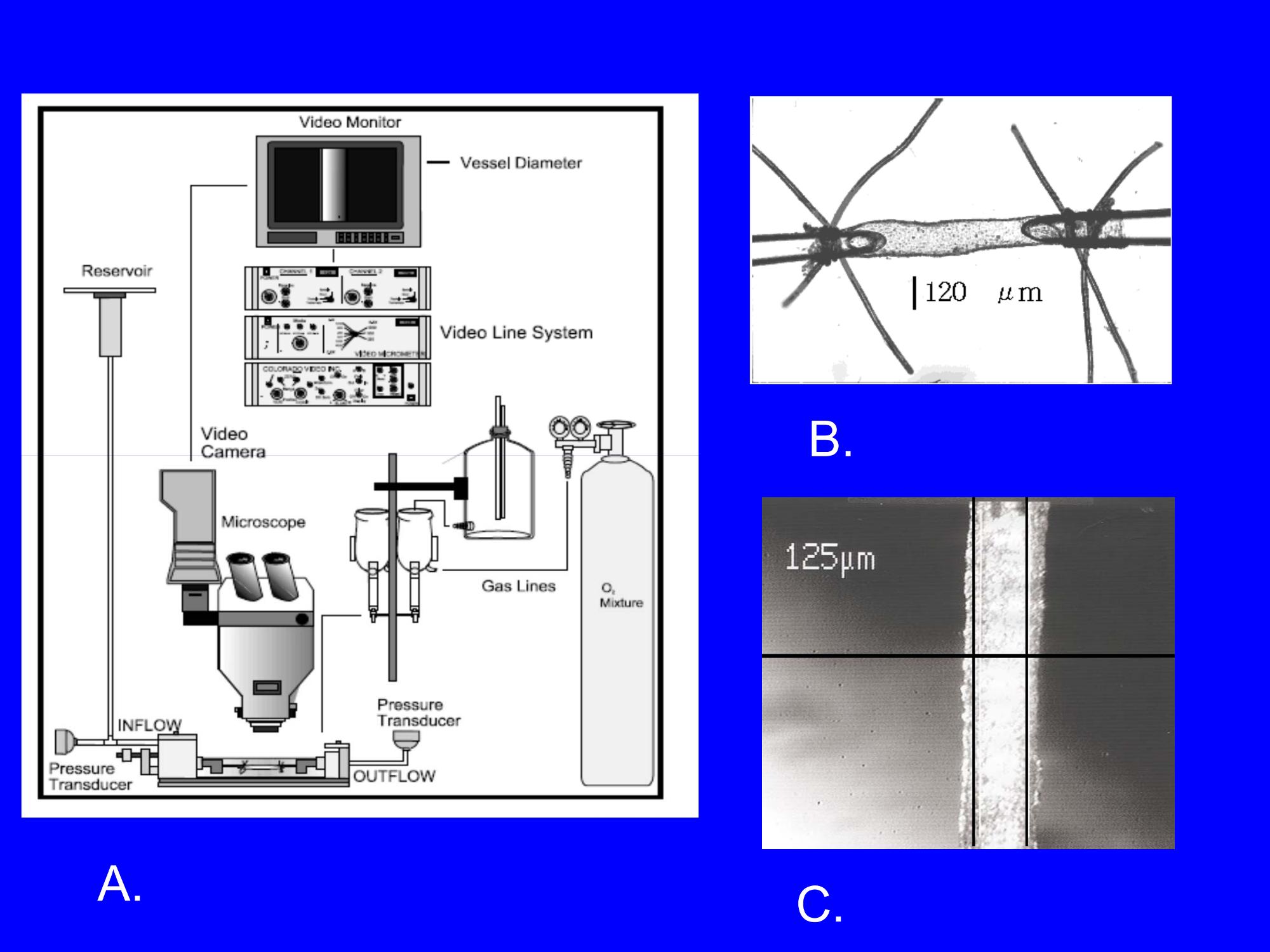 Evaluation of Vascular Control Mechanisms Utilizing Video ... on