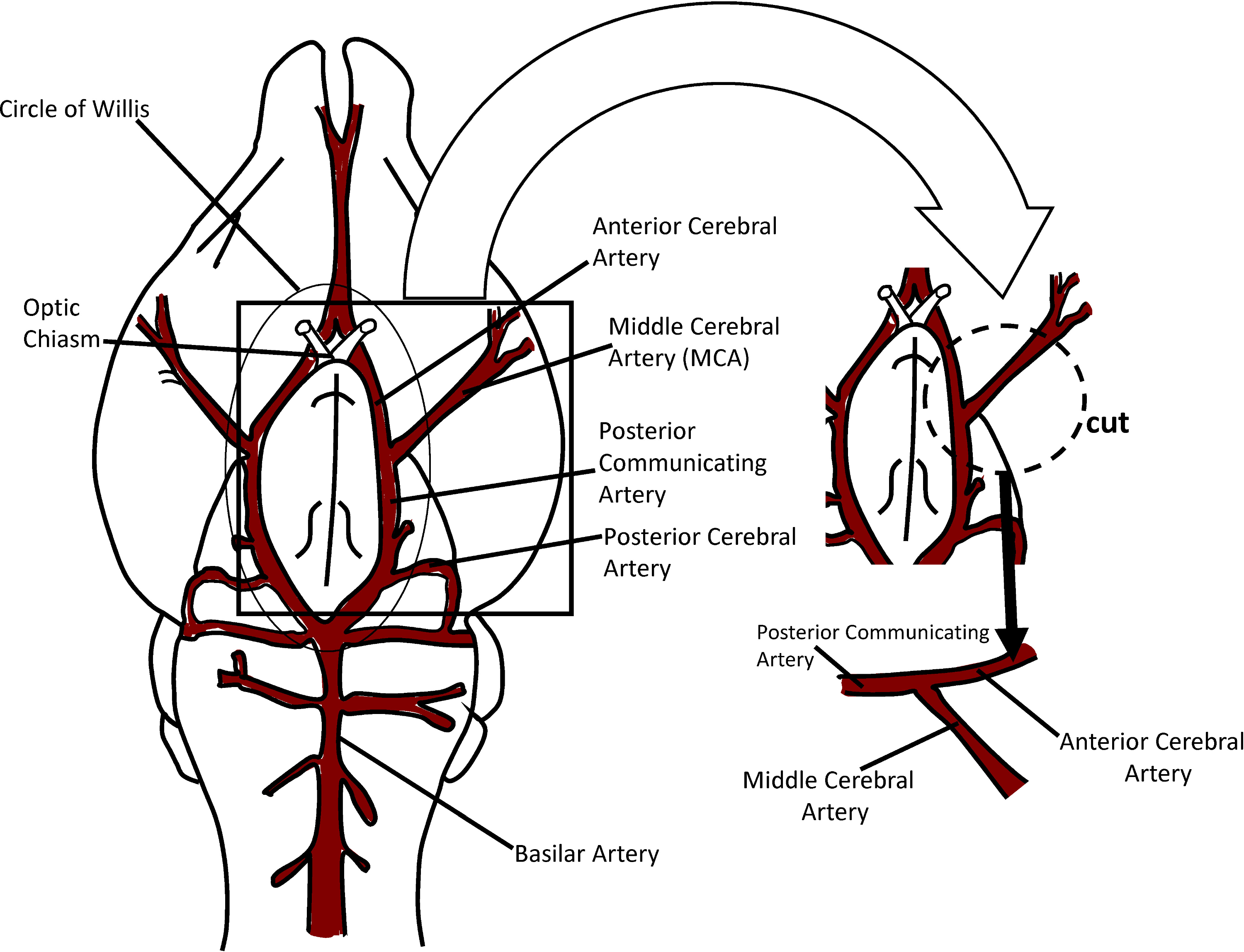 Evaluation Of Vascular Control Mechanisms Utilizing Video