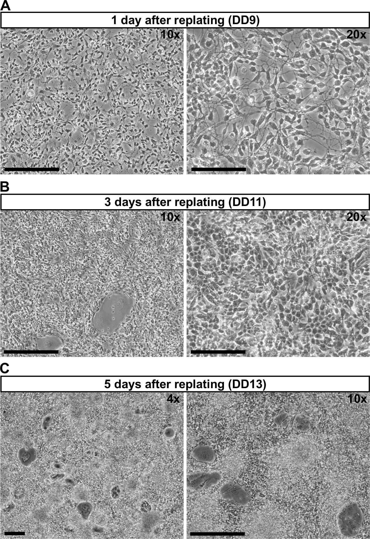 Differentiation of Mouse Embryonic Stem Cells into Cortical