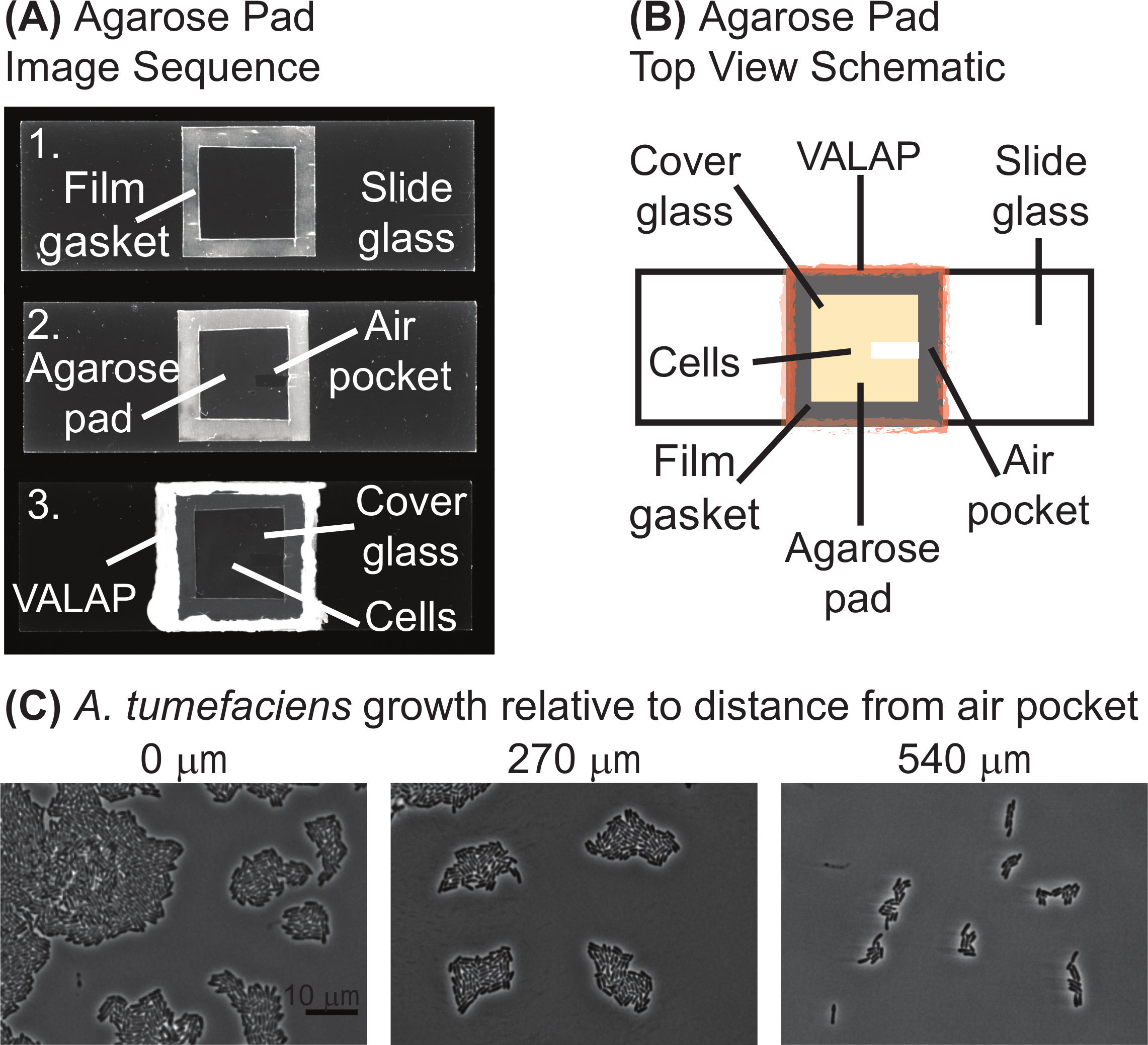 Live Cell Fluorescence Microscopy to Observe Essential Processes