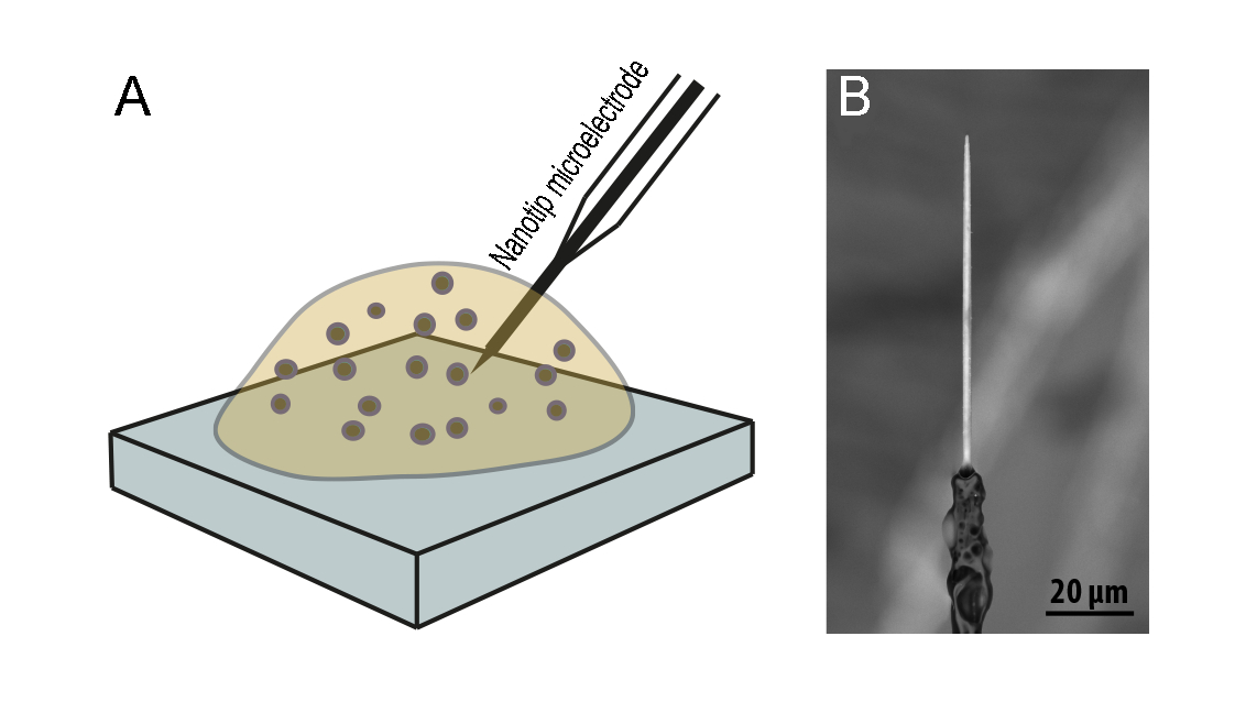 Monitoring The Effect Of Osmotic Stress On Secretory Vesicles And