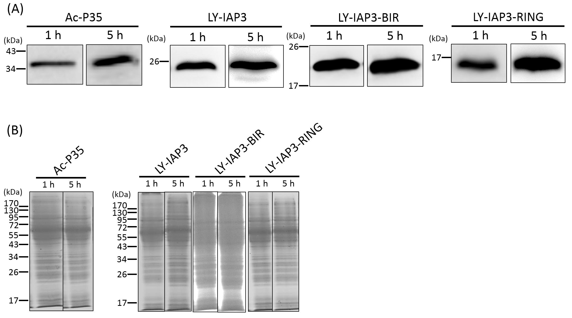 a49387a3 (A) Western blot analysen med α-V5 antistoff og (B) SDS/side med Coomassie  blå som kontrollen lasting.