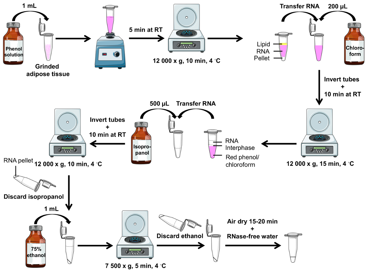 Mouse Adipose Tissue Collection And Processing For Rna Analysis Protocol
