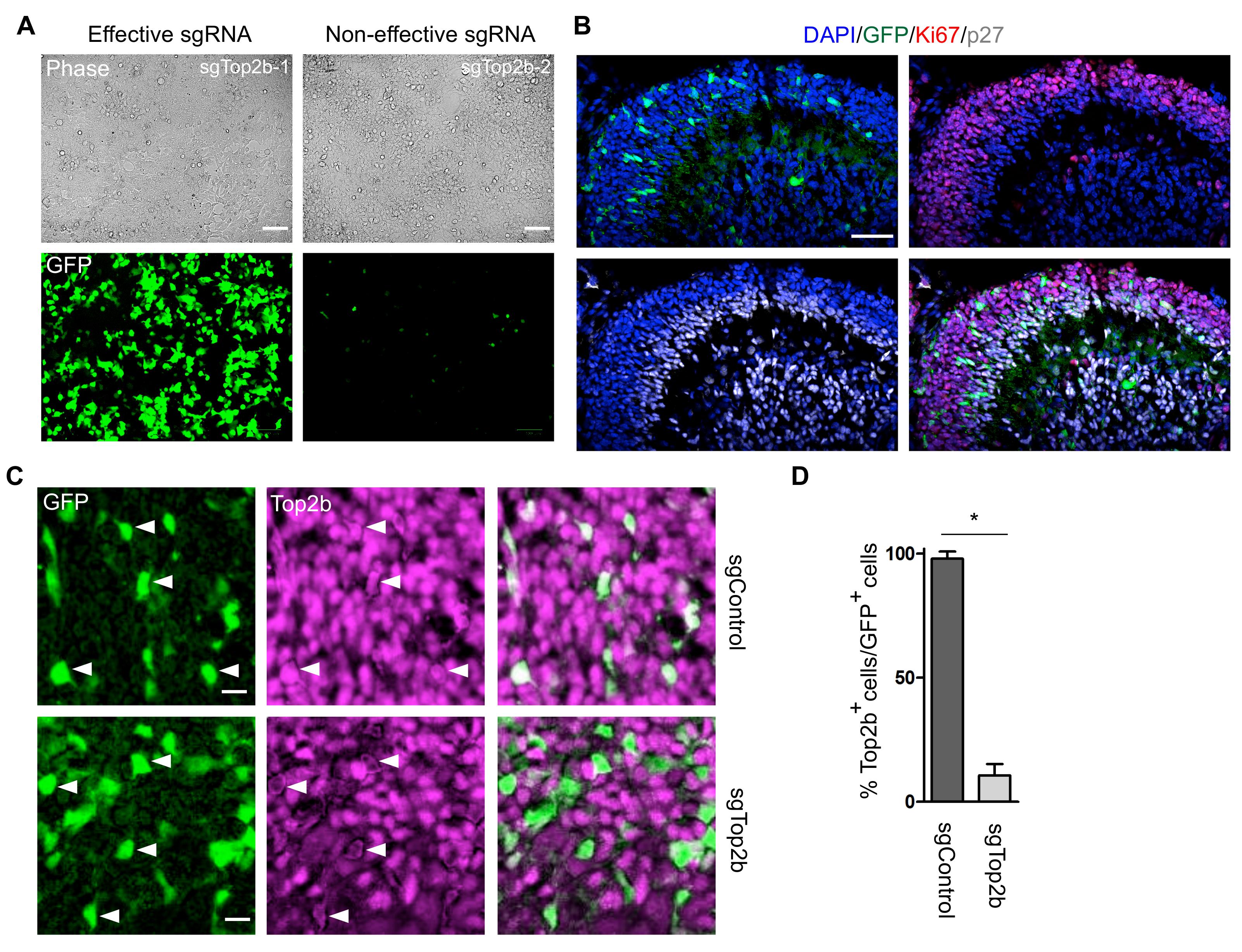 CRISPR-mediated Loss of Function Analysis in Cerebellar Granule