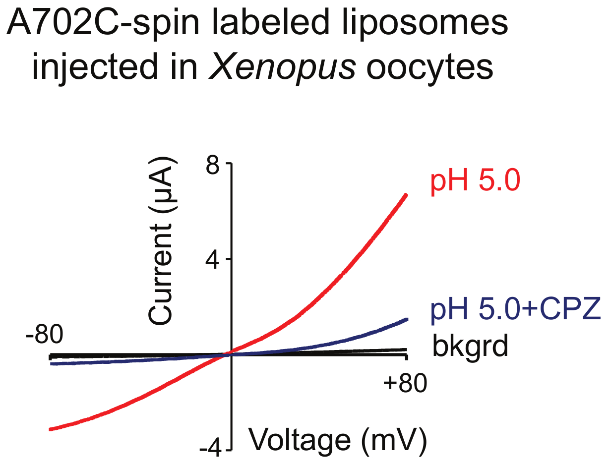 Purification and Reconstitution of TRPV1 for Spectroscopic Analysis