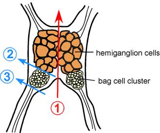 Figure 1. Schematic of Aplysia californica abdominal ganglion. Color lines indicate where to cut to obtain bag cell clusters.