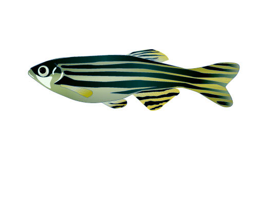An Introduction to the Zebrafish: <i>Danio rerio</i> thumbnail