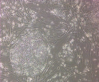 Embryonic Stem Cell Culture and Differentiation thumbnail