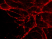 Measuring Exocytosis in Neurons Using FM Labeling thumbnail