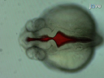 Zebrafish Injection Ventrículo Cerebral thumbnail
