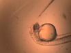 Trasplante de lentes en el pez cebra y su aplicación en el análisis de mutantes de ojos thumbnail