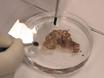 Immunocoloration lots pour la détection de protéines à grande échelle dans le cerveau du singe entier thumbnail