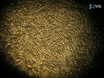 Primary Culture of Adult Rat Heart Myocytes thumbnail