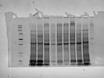 Toxin Induction and Protein Extraction from <em>Fusarium</em> <em>spp.</em> Cultures for Proteomic Studies thumbnail