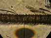 Enregistrements Sensillum simple chez les insectes<em> Drosophila melanogaster</em> Et<em> Anopheles gambiae</em thumbnail