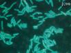 イメージングのミスマッチ修復とのDNA損傷に対する細胞応答<em>枯草菌</em thumbnail