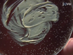תא תרבויות ראשי מ<em> תסיסנית</em> Gastrula עוברים thumbnail