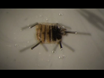 Dissection of Oenocytes from Adult <em>Drosophila melanogaster</em> thumbnail