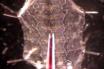 カルシウムインジケータ付きのロードショウジョウバエの神経終末 thumbnail