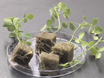 Generation of Composite Plants in <em>Medicago truncatula</em> used for Nodulation Assays thumbnail