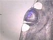 Laser Capture Microdissection av däggdjur thumbnail