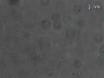Multiplexed Single-molecule Force Proteolysis Measurements Using Magnetic Tweezers thumbnail