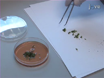 Cell Specific Analysis of <em>Arabidopsis</em> Leaves Using Fluorescence Activated Cell Sorting thumbnail