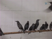 Funksjonell Magnetic Resonance Imaging (fMRI) med auditiv stimulering i Songbirds thumbnail