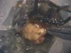 Identificatie van Olfactorische Vluchtige stoffen met behulp van gaschromatografie-en meergezins-Recordings (GCMR) in de Insect antennaal Lobe thumbnail
