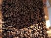 둔화 가속과 반전 꿀 꿀벌 모델에서 노화와 표본을 얻기 thumbnail