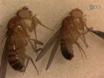 A Single-fly Assay for Foraging Behavior in <em>Drosophila</em> thumbnail