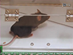 Trace Fear Conditioning in Mice thumbnail