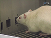 The 5-Choice Serial Reaction Time Task: A Task of Attention and Impulse Control for Rodents thumbnail
