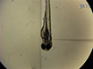 Reverse Genetic Morpholino Approach Using Cardiac Ventricular Injection to Transfect Multiple Difficult-to-target Tissues in the Zebrafish Larva thumbnail