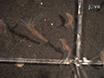 Geração de Transgênicos<em&gt; Hydra</em&gt; Por microinjeção de embriões thumbnail