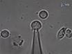 שיטות למדידת קיבול מצורף סלולארי בתא עכבר הכליה Chromaffin thumbnail