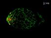 نمذجة الأغشية المخاطية المبيضات في اليرقات الزرد عن طريق الحقن Swimbladder thumbnail
