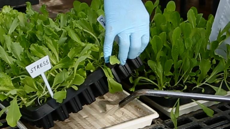 Semi-High Throughput Screening for Potential Drought-tolerance in Lettuce (<em>Lactuca sativa</em>) Germplasm Collections thumbnail